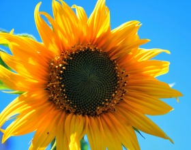 yellow-sunflower-403172_1920